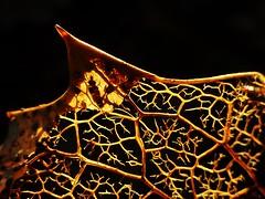 Holly Leaf..x