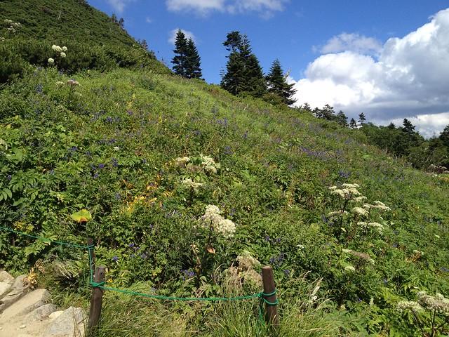 西穂高岳 西穂山荘 お花畑
