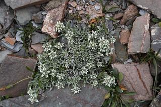 Leontopodium ochroleucum (Astraceae)