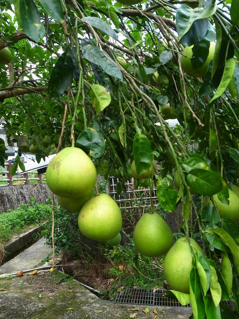 結實纍纍的柚子樹!