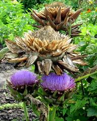 artisjok (Cynara cardunculus var. scolymus)