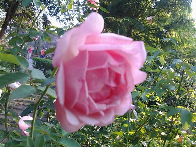 20717玫瑰花