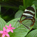 The Glasswinged Butterfly by Steve Taylor (Photography)