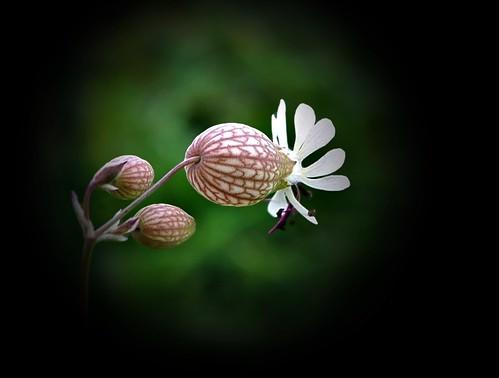 Fleur sauvage d'Alsace
