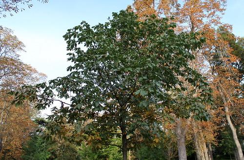 Aesculus hippocastanum - marronnier 21969536299_3de32f8a63