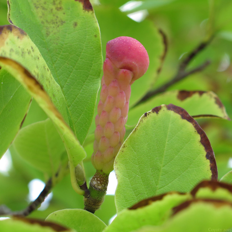 Magnolia fruit