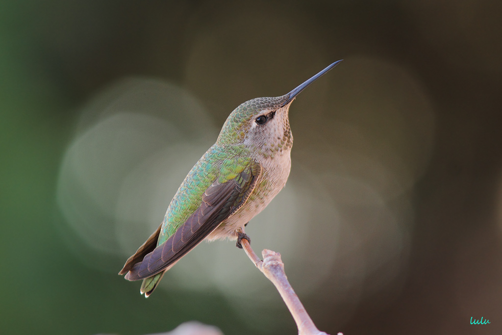 female Anna's Hummingbird 102215