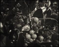Holly Berries B&W  - 91/100