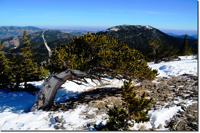 Windblown Bristlecone Pine on Chief Mountain, with Squaw Mountain in the distance