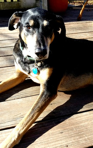 Teutul, rescued coonhound mix