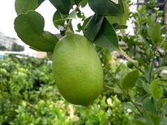 লেবু Lemon