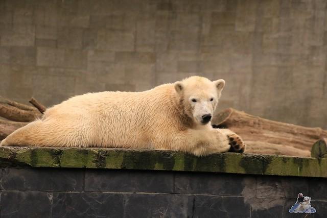 Eisbär Fiete im Zoo Rostock 05.12.2015  153