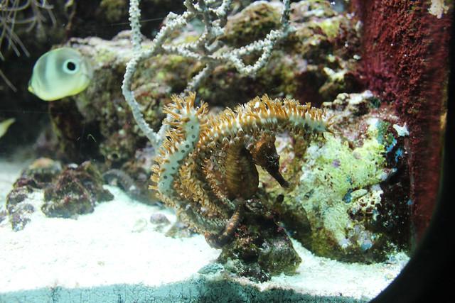 Shedd Aquarium- A horsefish