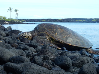Leatherback turtle - Kiholo bay