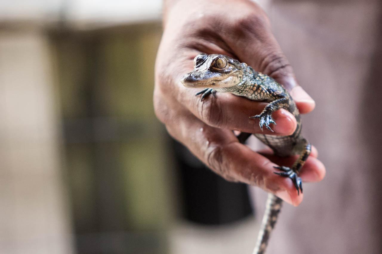 El Parque Nacional de los Everglades es un humedal ubicado en el estado de Florida, a pocos minutos de la ciudad de Miami, alberga una gran cantidad de fauna y flora, especialmente gran cantidad de cocodrilos y aligátores.   (Tetsu Espósito)