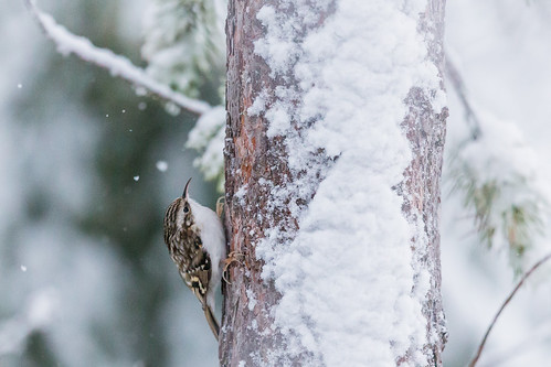 Tree Creeper (Trädkrypare)
