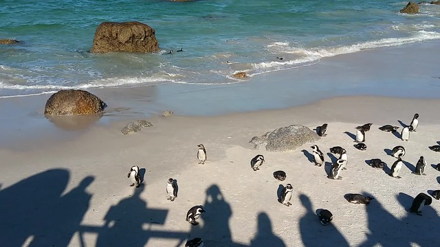 Cute penguins at Boulders beach