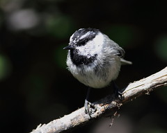 Chickadees, Nuthatches, Titmouse, Bushtit, Brown Creeper