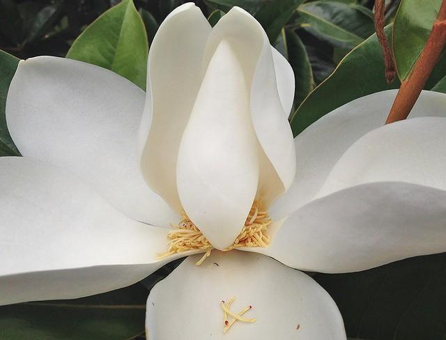 Magnolia blossom macro ~ HMM!
