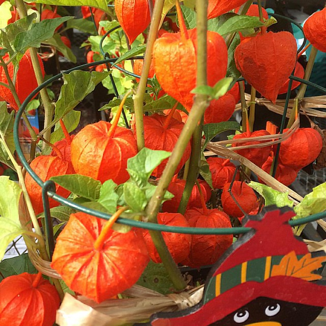 "These ""Chinese Lantern"" plants are awfully cute. 🎃"