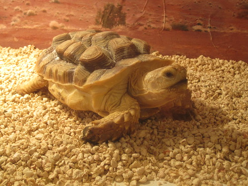 Geochelone sulcata - Tartaruga africana