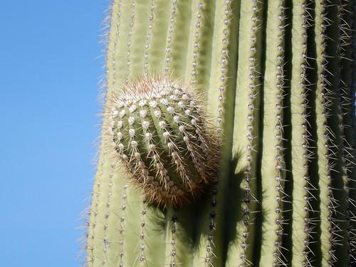 Saguaro NP - saguaro close up - 1