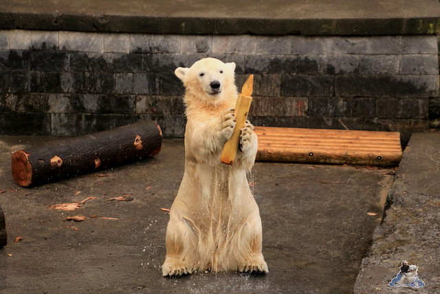 Eisbär Fiete im Zoo Rostock 12.12.2015   87