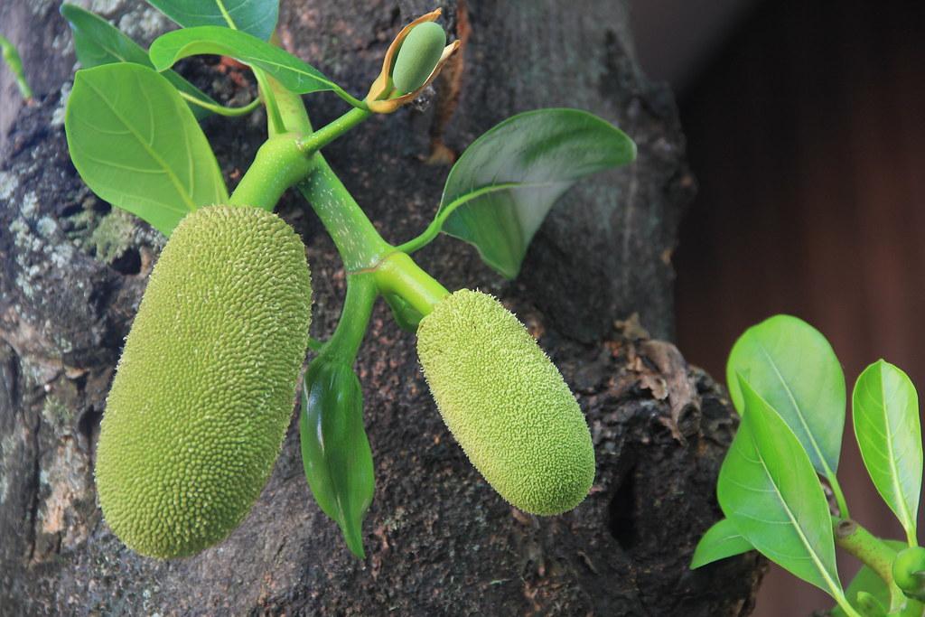 Jackfruit, Wat Chiang Man