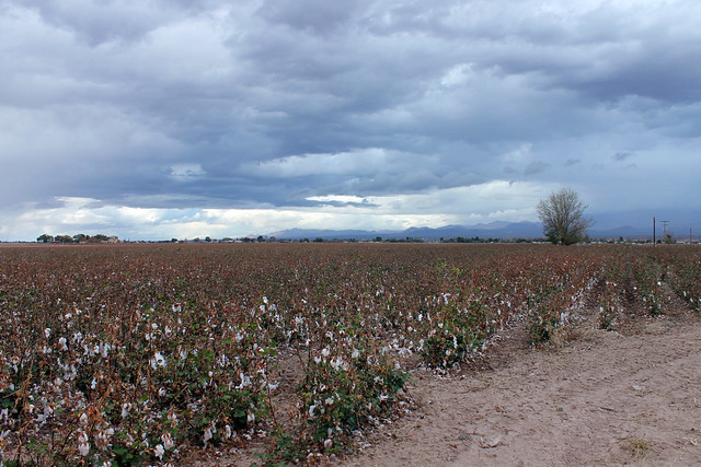 Cotton Fields (with cotton)