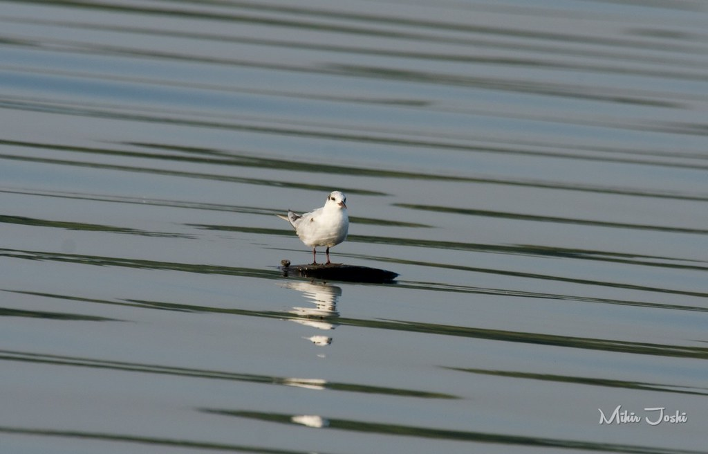 Common Tern [Gaviotín Golondrina]