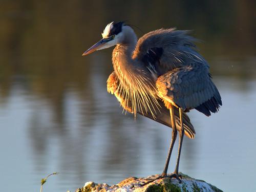 Great Blue Heron 03-20170207
