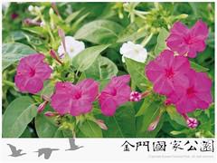 紫茉莉-02
