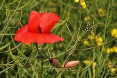 Poppy buds 3