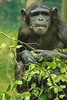 Chimpanzee at Monkey World. Taken on 21-07-2012 - 14_34_56.jpg by atthezoouk