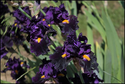 Iris Lady Of The Night - intermédiaire