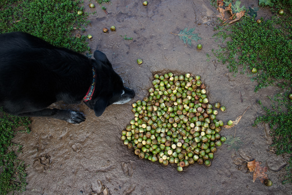Our dog Ellie sniffs a pile of acorns