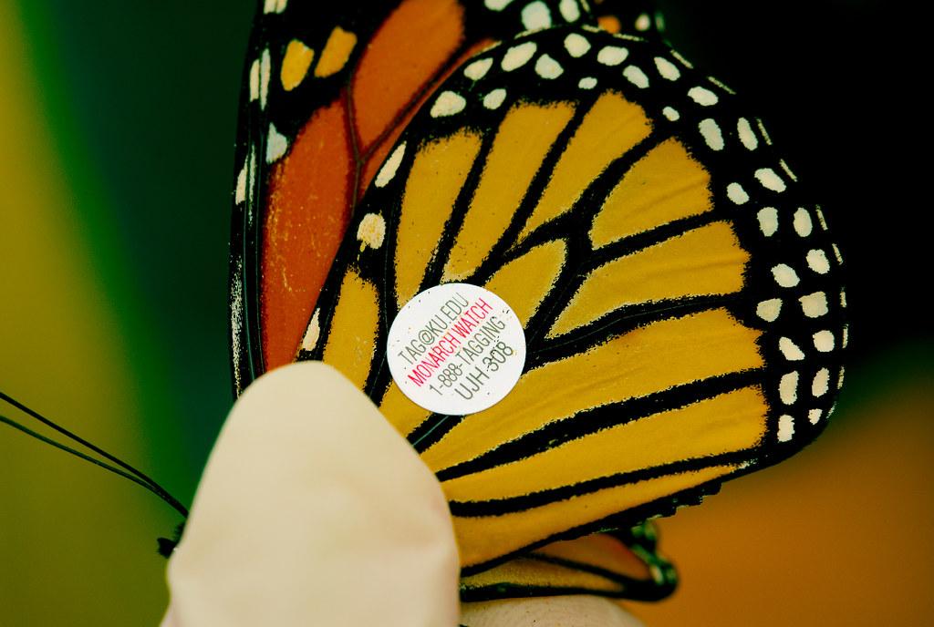 Butterflies_39