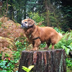 King of the tree stump! :fallen_leaf::dog::paw_prints: #washingtonpark #wildwoodtrail #Portland
