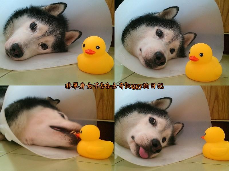 哈士奇doggy與啾啾玩具黃色小鴨08