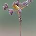 Argiope bruennichi by Cristian Arghius