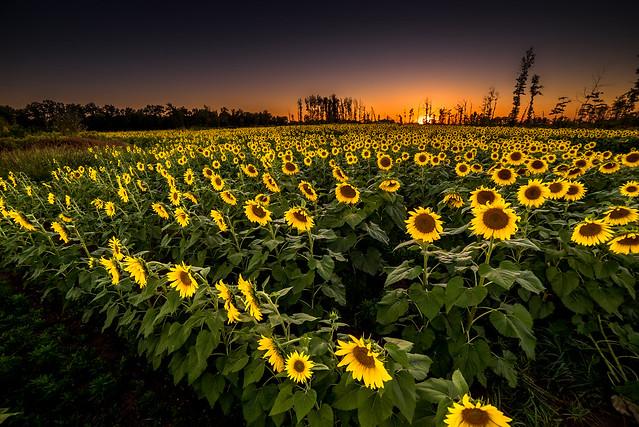 Avon Sunflower Field II