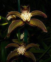 Cymbidium tracyanum 'Citron Sunray'  fragrant species orchid 11-15