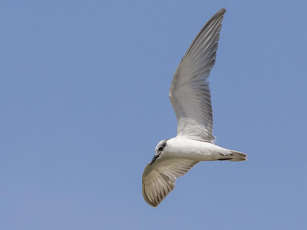 Gull-billed Tern  Sri Lanka