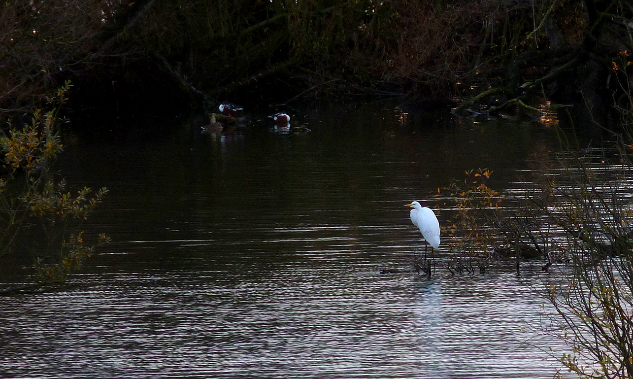 Great White Egret Fairburn 30Oct15