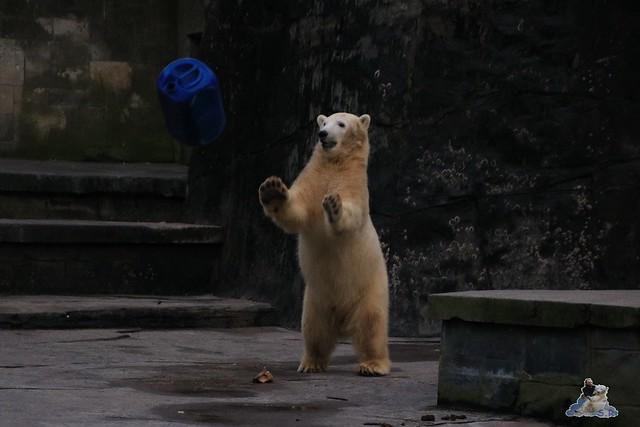 Eisbär Fiete im Zoo Rostock 05.12.2015  279