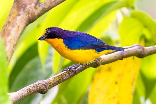 blue wild portrait bird nature beautiful canon wonder countryside wings wildlife birding beak aves claw perched caribbean avifauna westindies newworld neotropical asawright violaceouseuphoniaeuphoniaviolacearodwayi