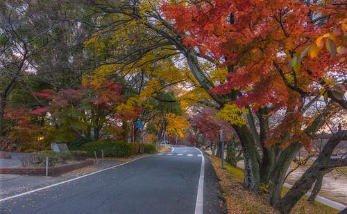 autumn okazakicity aichiprefecture red roads yellow momiji japan autumnleaves acerpalmatum fall japanesemaple nature 岡崎市 愛知県 日本 秋 紅葉 赤 黄色 okazaki jdnewsletter216