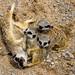Axe Valley Wildlife Park - Meerkat by myfrozenlife