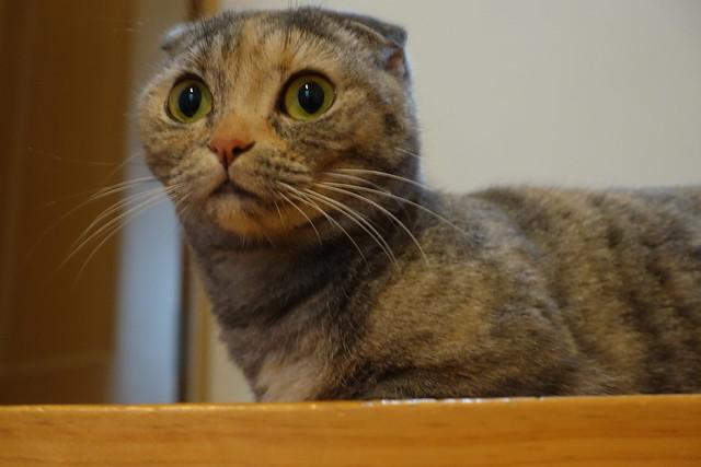 cat shock collar amazon