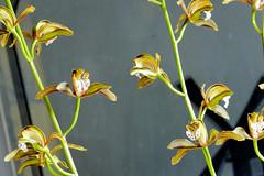 Cymbidium erythraeum species orchid, 1st bloom  12-16*
